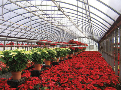 Poinsettias at Ace Greenhouses